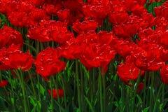 Flowerbed z tulipanami w ogródzie Zdjęcia Stock