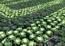 Flowerbeds капусты в Будапеште стоковая фотография
