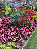 Flowerbeds with annuals. Flowerbeds with colorful annuals. Very prominent begonias and castor oil, cornflower blue gives contrast throughout the garden planting royalty free stock photos