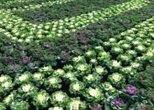 Flowerbeds of cabbage in budapest. Green garden, green edible bouquet stock photography