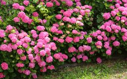 Flowerbeds hydrangeas with pink flowers. In a public park stock photo
