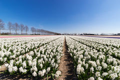 Flowerbeds in the Netherlands. Hyacints in this case royalty free stock image