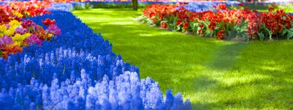 Flowerbeds with yellow, blue and red tulips and lawn with green grass. Park with flowers Keukenhof in the spring. Holland. Banner. Background royalty free stock photo