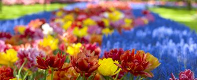 Flowerbeds with yellow, blue and red tulips. Park with flowers Keukenhof in the spring. Holland. Banner. Background.  stock image