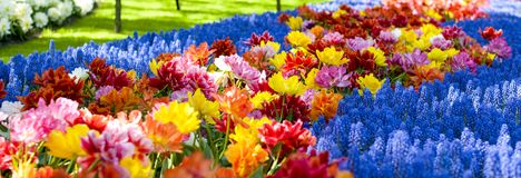 Flowerbeds with yellow, blue and red tulips. Park with flowers Keukenhof in the spring. Holland. Banner. Background. Flowerbeds with yellow, blue and red tulips stock photography