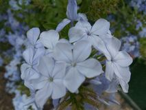 FlowerBlue Photographie stock libre de droits