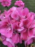 Flowerbomb Fotografia de Stock Royalty Free