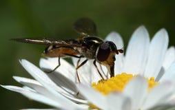 Flowerbug Arkivbilder