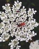 Flowerbug stockfoto