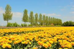 flowerbulbs Голландия стоковое изображение