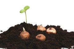 Flowerbulbs e germoglio verde Immagine Stock Libera da Diritti