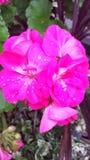 Flowerburst Royalty Free Stock Photography
