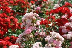 Flowercarpet de floraison des roses rouges et roses de polyantha images libres de droits