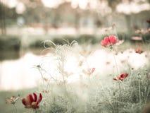 FlowerCosmos Fotografering för Bildbyråer