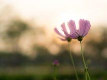 FlowerCosmos Royaltyfri Bild