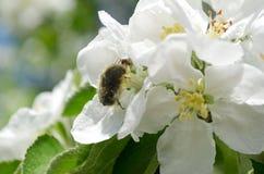 Flowereater en mier Royalty-vrije Stock Afbeelding