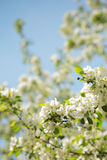 Flowered apple tree Stock Photo