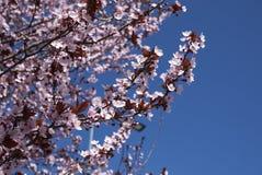 Prunus cerasifera nigra in bloom. Flowered branch of Prunus cerasifera nigra  tree royalty free stock images