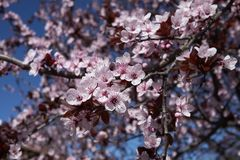 Prunus cerasifera nigra in bloom. Flowered branch of Prunus cerasifera nigra  tree stock photo