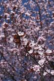 Prunus cerasifera nigra in bloom. Flowered branch of Prunus cerasifera nigra  tree stock image