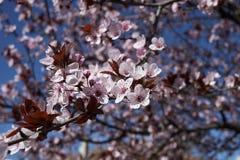 Prunus cerasifera nigra in bloom. Flowered branch of Prunus cerasifera nigra  tree stock photos