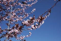 Prunus cerasifera nigra in bloom. Flowered branch of Prunus cerasifera nigra  tree stock photography