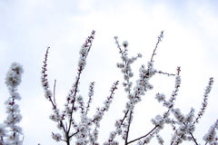 Flowered branches Royalty Free Stock Photos