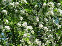 Flowered cherry tree Royalty Free Stock Photography