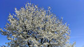 Flowered cherry tree stock photo