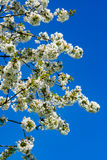 Flowered cherry tree Stock Image