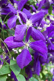 Flowered clematis Royalty Free Stock Photography