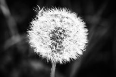 Flowered dandelion Royalty Free Stock Photo