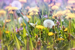 Flowered dandelion in a meadow Royalty Free Stock Photography
