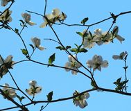 Flowered Dogwood Tree Branches. Gazing up at a flowering branch of the white dogwood tree against a cloudless blue sky in early spring stock images