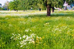 Flowered Field Royalty Free Stock Photography