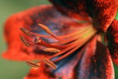 Flowered lily Tango Paris Heart Stock Image