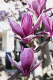 Flowered magnolia in Brianza (Italy) Stock Image