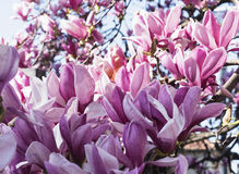 Flowered magnolia in Brianza (Italy) Stock Photography