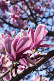 Flowered magnolia in Brianza (Italy) Royalty Free Stock Photo