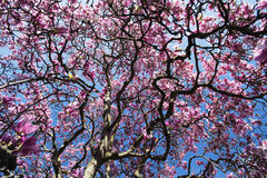 Flowered magnolia in Brianza (Italy) Stock Photos