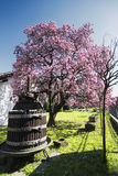 Flowered magnolia in Brianza (Italy) Royalty Free Stock Photography