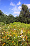 Flowered Meadow in the summer country Landscape Stock Image