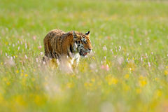 Flowered meadow with tiger. Tiger with ping and yellow and pink flowers. Siberian tiger in beautiful habitat. Amur wild cat sittin. Flowered meadow with tiger Royalty Free Stock Photography