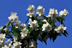 Flowered mock-orange (Philadelphus) Royalty Free Stock Images