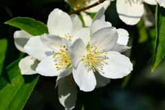 Flowered mock-orange (Philadelphus) royalty free stock photos