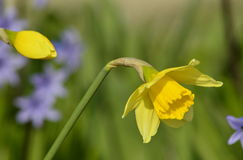 Flowered narcissus. The first spring narcissus in the garden Royalty Free Stock Photography