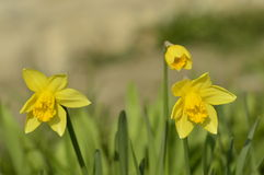 Flowered narcissus. The first spring narcissus in the garden Stock Photo