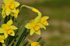 Flowered narcissus. The first spring narcissus in the garden Stock Photos