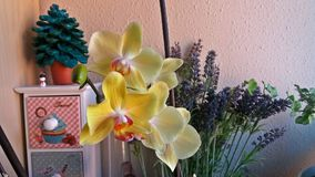 Flowered orchid in a nook of the house. Yellow flowered orchid in a nook of the house giving a spring look Stock Photo