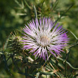 Flowered Thistle Royalty Free Stock Photo